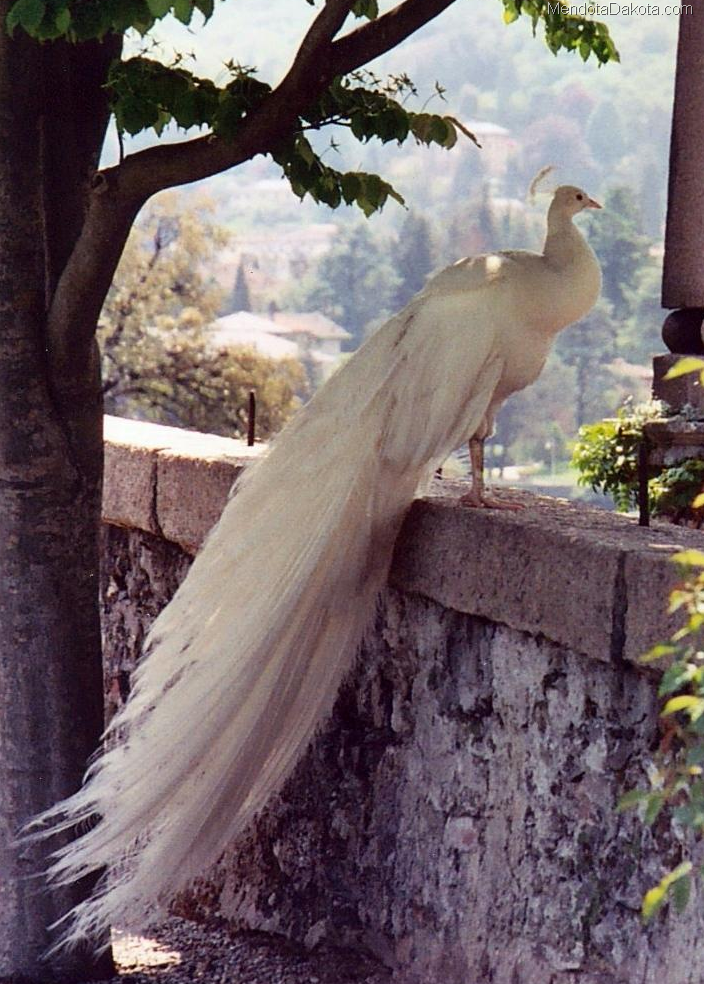 Albino Peacock For Sale. Albino Peacock, PHOTOS, VIDEO